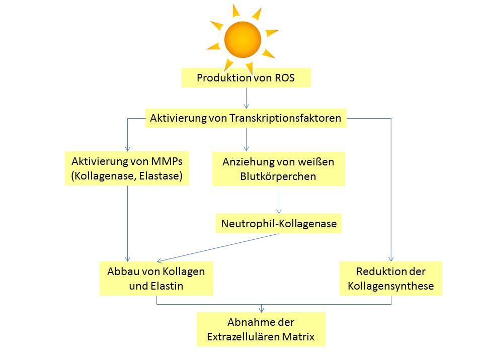Biochemische Vorgänge bei der Hautalterung