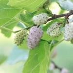 Maulbeerbaum - Wirkstoff für Kosmeti